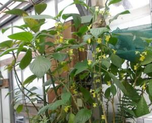 Besleria labiosa Photo by Ron Myhr