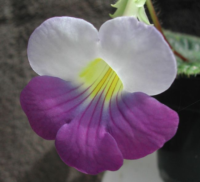 2004 Chirita Dielsii - flower - grown and photographed by Bill Price
