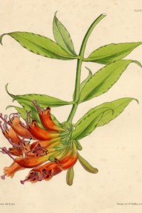 Aeschynanthus splendidus - Publisher unknown, ca 1852