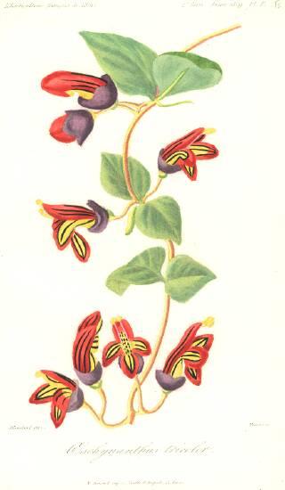 Aeschynanthus tricolor - Herincq, 1859