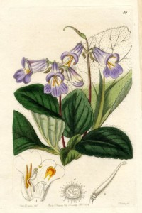 Chirita sinensis - Edwards, 1844