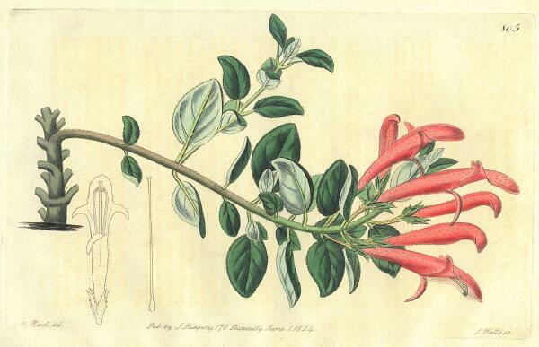 Columnea scandens - Edwards, 1824
