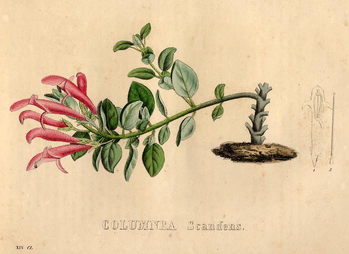 Columnea scandens - Van Geel, 1828