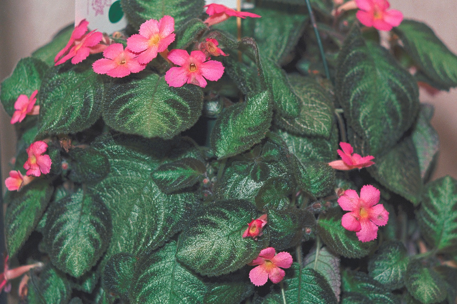 Episcia Pink Panther Gesneriad Reference Web