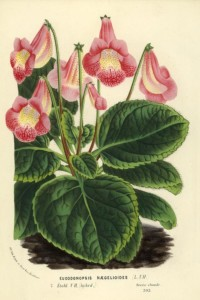 Eucodonopsis naegelioides - Van Houtte, 1865