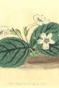 Gloxinia hirsuta - Edwards, 1826