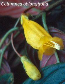 Columnea_oblongifolia