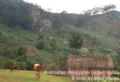 mugambu-peak-eucalyptus_label
