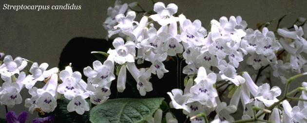 streptocarpus-candidus