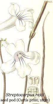 streptocarpus_rexii_seedpod