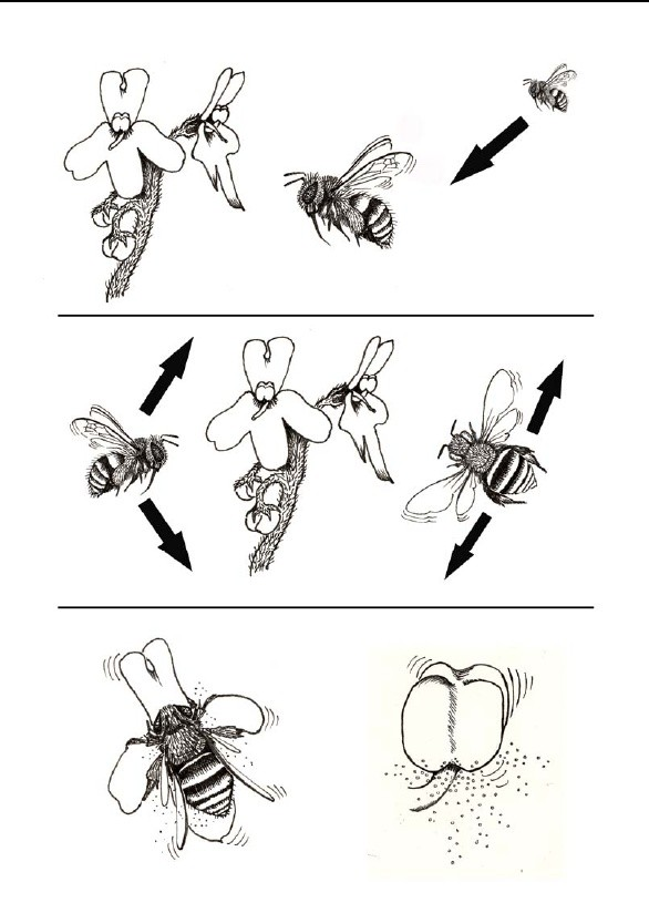 Pollination Gesneriad Reference Web