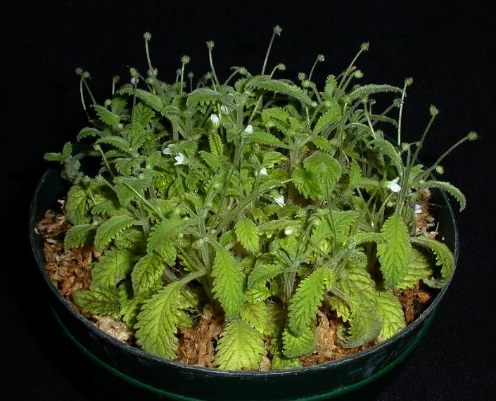 Amalophyllon Clarkii Stewart Herbs